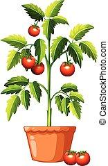 A Tomato Plant on White Background