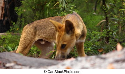 A tracking shot of a dingo in the bush - A medium tracking...