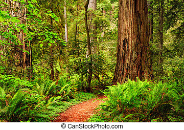 A trail through the Redwood forest in Jedediah Smith Redwood State Park, California, USA