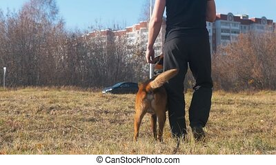A trained dog following his trainer. Mid shot