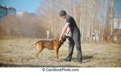 A trainer german shepherd dog brings his trainer the grip. Mid shot