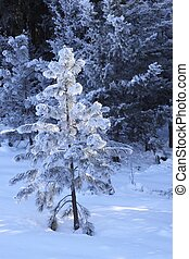 A tree covered in Hoar Frost - A tree covered in snow and ...
