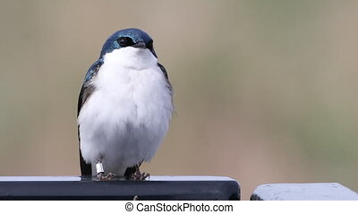 Tree Swallow, Tachycineta bicolor, perched - A Tree Swallow,...
