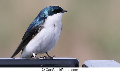 Tree Swallow, Tachycineta bicolor, relaxed - A Tree Swallow,...