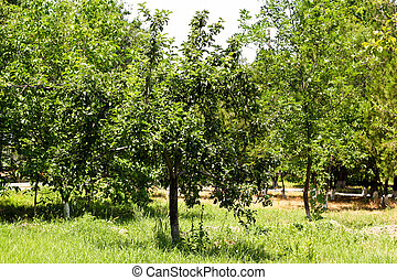 a tree with apples on the nature
