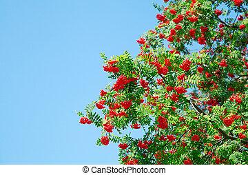 A tree with rowan berries on blue sky