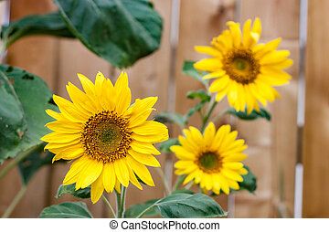 Trio of Sunflowers in Front of Fence