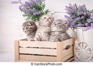 Scottish kittens in a wooden box. Lavender flowers in the background