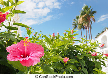 a tropical holiday vacation scene with a bright pink hibiscus flower in front of white blurred buildings and palm trees againds a bright sunny blue sky and fluffy white clouds