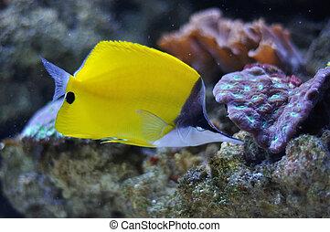yellow surgeon fish - a tropical yellow surgeon fish...