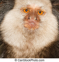 A Tufted-eared Marmoset - One Tufted-eared Marmoset in a...