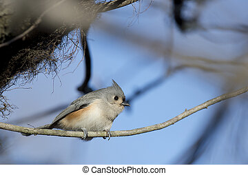 Tufted TItmouse - A Tufted TItmouse is perched on a branch ...