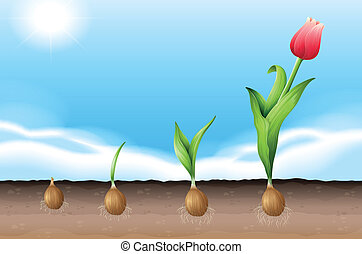 A tulip - Illustration showing a growing tulip