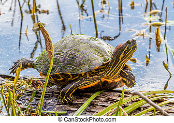 A Turtle at Brazos Bend Texas. - A Large Yellow-bellied ...