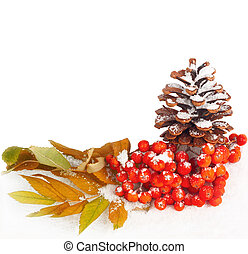 A twig of mountain ash and cone on snow background