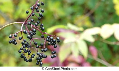 A twig with black berries in a picturesque park in autumn