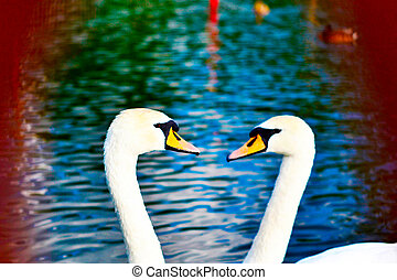 two swans swimming in a body of water