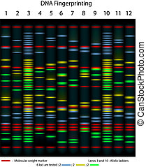A typical DNA fingerprinting, 10 persons were tested for 6 loci, scientifically accurate, eps8