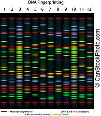 DNA fingerprinting - A typical DNA fingerprinting, 10 ...