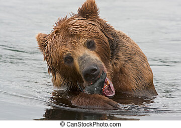 a, urso marrom, peixes