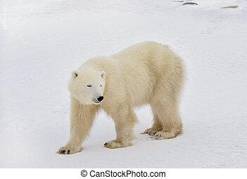 a, urso polar, vai, ligado, snow.