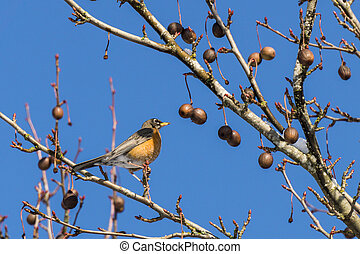 A varied thrush bird on the tree against blue sky.