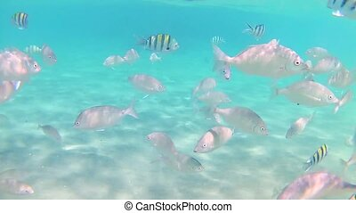 A variety of striped fish of the Red Sea swim in the blue clear sea water on a sunny day. Slow motion Standard movement. Timelapse