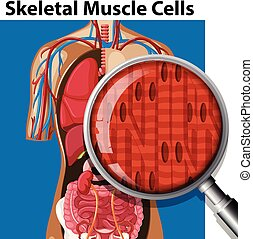 A Vector of Skeletal Muscle Cells