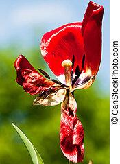 a, verdorrt, rote tulpe