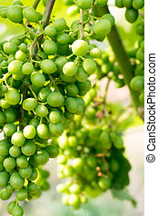 young green Pinot Noir grapes on a grapevine in a Swiss vineyard growing fast
