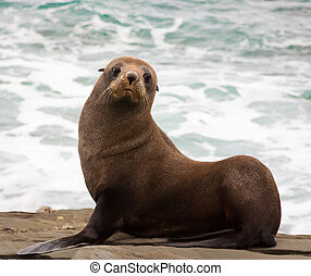 A very cute young New Zealand fur seal (Arctocephalus forsteri)