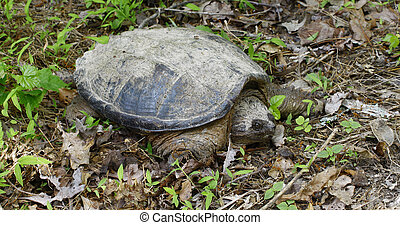 A very large common snapping turtle, (Chelydra serpentina)...
