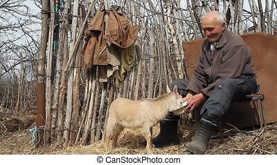 A very old sick man sits on a stool holding a goat in his...