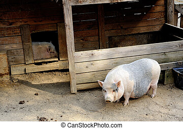 a very small sow in its enclosure