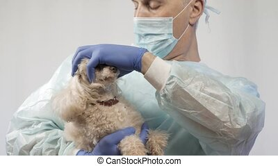 A veterinarian examines a small poodle before surgery.