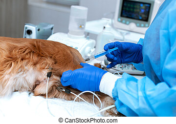 A veterinarian is administering an anesthetized dog . A dog with a catheter in its paw is lying on the operating table in a veterinary clinic. A Cocker Spaniel dog is awaiting surgery