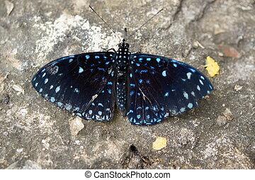 Starry Cracker - Hamadryas laodamia - A vibrant butterfly...