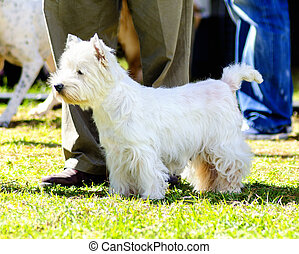 West Highland White Terrier - A view of a small, young and...