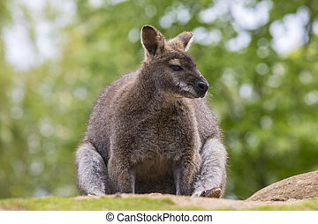 Wallaby - A view of a Wallaby - a macropod found in...