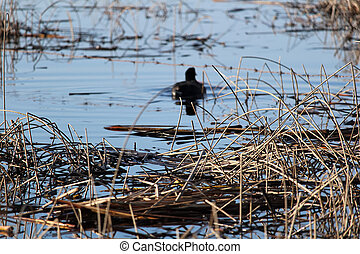 A view of dry reeds with an American Coot blurred in the distance