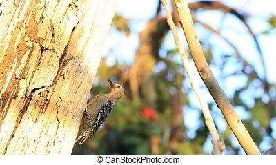 View of Hoffman's Woodpecker, Melanerpes hoffmannii, in...