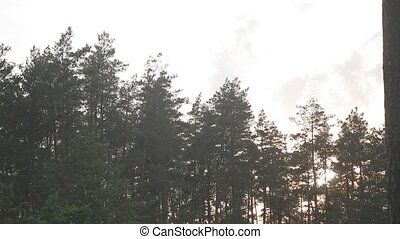 A view of the pine trees and the sky