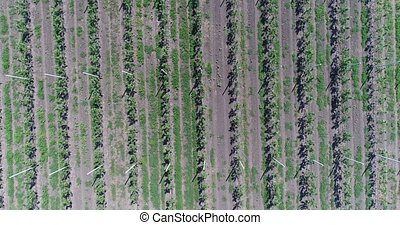 A view of the seedlings of trees from the air, flying over...