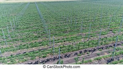 A view of the seedlings of trees from the air, flying over tree seedlings, a garden center, a young apple garden on the field, Rows of tree saplings in the Young apple garden, aerial