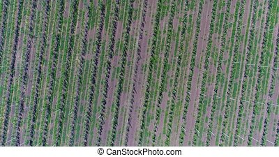 A view of the seedlings of trees from the air, flying over tree seedlings, a garden center, a young apple garden on the field, Rows of tree saplings in the Young apple garden, 4k, aerial