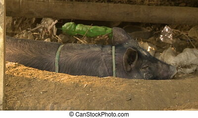 A village pig resting under a shade, Myanmar - Close-up...