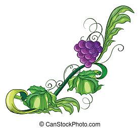 A vine fruit
