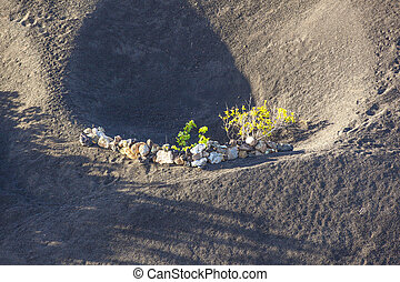 A vineyard in Lanzarote island, growing on volcanic soil - A...