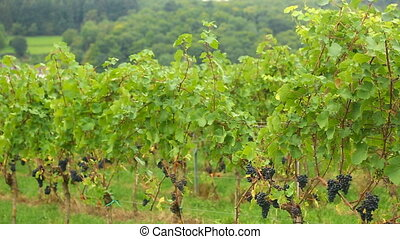 A vineyard in the village Eisingen - A panorama of vineyard...