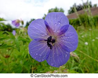 A violet flower after the rain